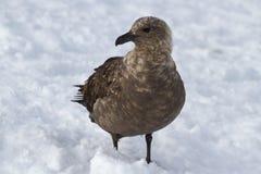 Zuiden polaire jagers wat zich bevindt Royalty-vrije Stock Afbeeldingen