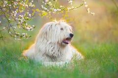 Zuiden Russische herdershond royalty-vrije stock afbeelding
