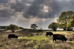 Zuiderheide. Netherlands, natural reserve, with Scottish Highlander Cows. HDR, grazing one afternoon Royalty Free Stock Image