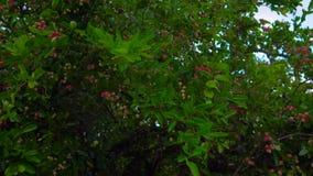 Zuidoostelijke tropische fruit kleine pinkberry stock videobeelden