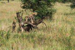 zuigelingsjachtluipaard bij het nationale park die van Serengeti naar voedsel, Tanzania, Afrika zoeken Stock Foto's