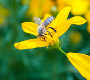 Zuigende nectar royalty-vrije stock afbeelding