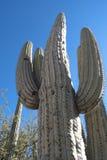 Zuilvormige cactus Stock Foto