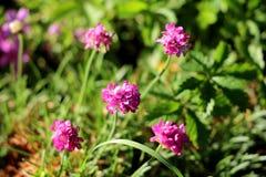 Zuinigheid of Armeria-maritima compacte eeuwigdurende bloeiende installatie met kleine roze die bloemen met binnen gras en andere stock afbeeldingen