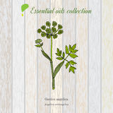 Zuivere etherische olieinzameling, engelwortel Houten textuurachtergrond Stock Afbeelding
