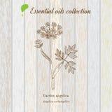 Zuivere etherische olieinzameling, engelwortel Houten textuurachtergrond Royalty-vrije Stock Afbeeldingen