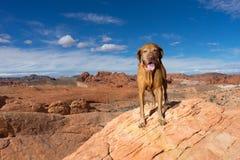 Zuivere rassenhond die zich op klip in de woestijn van Nevada bevinden stock fotografie