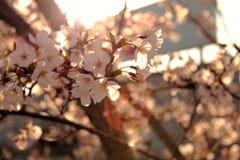 Zuivere sakura Royalty-vrije Stock Foto