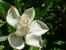 Zuivere witte bloem van magnolia stock afbeelding