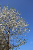 Zuivere Witte Cherry Flowers Blooming With Budding-Boom royalty-vrije stock fotografie