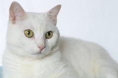 Zuivere witte kat stock afbeeldingen