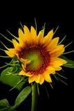 Zuivere Zonnebloem stock afbeeldingen