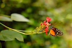 Zuleikas Heliconius Hacale πεταλούδων, στο έντομο της Νίκαιας βιότοπων φύσης από τη Κόστα Ρίκα στην πράσινη δασική συνεδρίαση πετ Στοκ Εικόνα