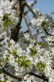 Zumba no sol inteiramente de florescência da árvore de cereja na primavera imagem de stock