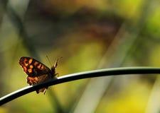 Zumbido da borboleta Imagens de Stock Royalty Free