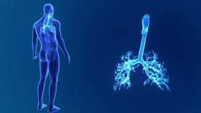 Zumbido da traqueia com órgãos e sistema circulatório vídeos de arquivo