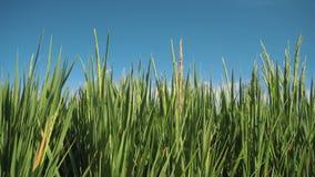 Zumbido da zorra do close up do campo de almofada do arroz vídeos de arquivo