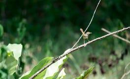Zumbido disparado de um pássaro marrom ao descansar em uma haste da árvore que procura o alimento imagens de stock royalty free