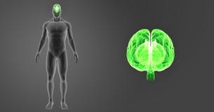 Zumbido do cérebro humano com opinião anterior do corpo Fotos de Stock Royalty Free