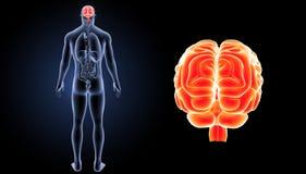 Zumbido do cérebro humano com opinião do traseiro dos órgãos Fotos de Stock
