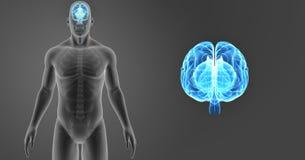 Zumbido do cérebro humano com vista anterior de esqueleto Fotos de Stock Royalty Free
