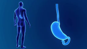 Zumbido do estômago com corpo video estoque