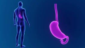 Zumbido do estômago com corpo filme