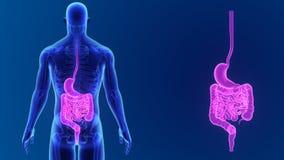Zumbido do estômago e do intestino com esqueleto vídeos de arquivo