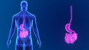 Zumbido do estômago e do intestino delgado com anatomia vídeos de arquivo
