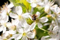 Zumbido em flores da cereja, dia de Mukha de mola ensolarado brilhante foto de stock