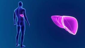 Zumbido humano do fígado com corpo filme
