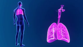 Zumbido humano dos pulmões com corpo video estoque