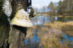 Zunderpilz auf Baum Stockbild