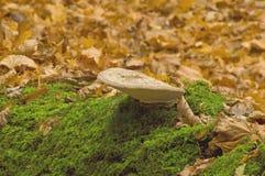 Zunderpilz (Ganoderma-lipsiense) Lizenzfreie Stockbilder