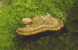 Zunderpilz (Ganoderma-lipsiense) Stockfoto