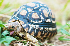 Zunge der Schildkröte Lizenzfreie Stockfotos