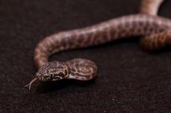 Zunge, die Pythonschlange schlägt Stockbilder