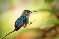 Zunzuncito,地球上的最小的蜂鸟 库存照片