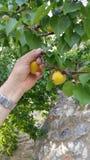 Zupfen von Aprikosen vom Baum Stockfotografie