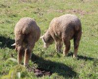 Zurück von den Schafen Stockbilder