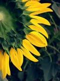 Zurück von der Sonnenblume Lizenzfreies Stockfoto