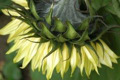 Zurück von der Sonnenblumen-Nahaufnahme lizenzfreie stockfotografie