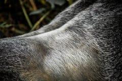 Zurück von einem Silverback-Berggorilla Lizenzfreie Stockfotos