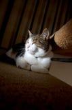 Zurückhaltendes Bild einer Tabbykatze (Felis attabi) Stockfotografie