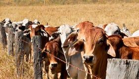 Zurückhaltene Kühe des Widerhakendrahtzauns auf Ranch stockfotos