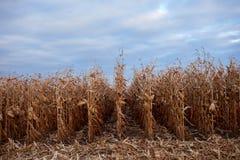 Zurücktretenreihen von den trockenen Maisanlagen bereit zu ernten Stockfotos