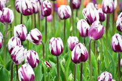 Zurel  is a kind of Triumph Tulip. stock photo