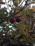 Zusammen im Apfelbaum Stockfoto