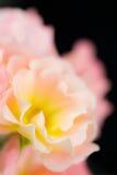 Zusammenfassung von Gartenrosen Lizenzfreies Stockfoto