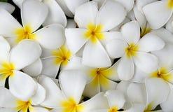 Zusammenfassungshintergrund der weißen Plumeria- oder Frangipaninatur Lizenzfreie Stockbilder